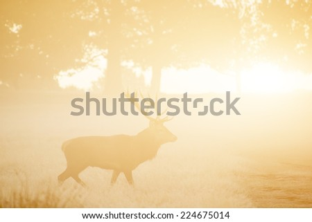 Red deer in thick fog sunrise Autumn Fall forest and countryside landscape - stock photo