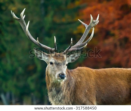 Red deer male portrait with autumn forest trees as background