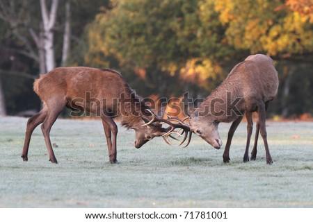 Red Deer Rutting - stock photo