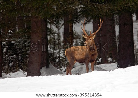 Red deer stag, bellow majestic powerful adult animal outside autumn forest, witer scene with snow forest, France - stock photo