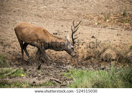 Red deer stag cervus elaphus takes a mud bath to cool down on Autumn Fall day