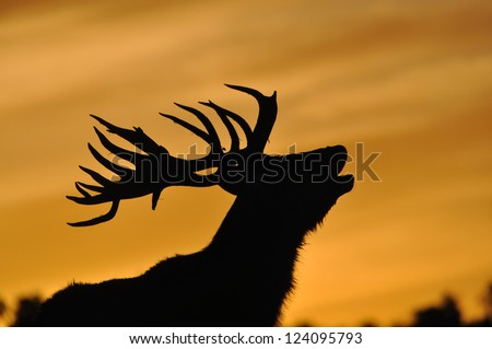 red deer stag, Cervus elephus, roaring at sunset in Westland, New Zealand