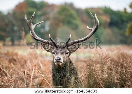 Red deer stag during rutting season.