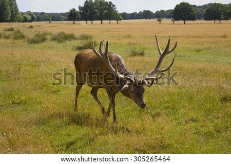 Red deer stag grazing in Richmond Park, London UK - stock photo