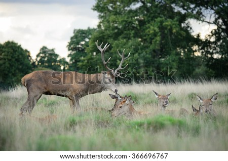 Red Deer Stag Guarding Hareem