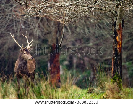 Red deer stag in a field during a rainy winters day - stock photo
