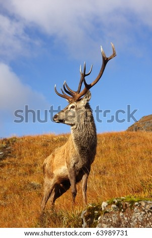Red Deer Stag in Autumn. - stock photo