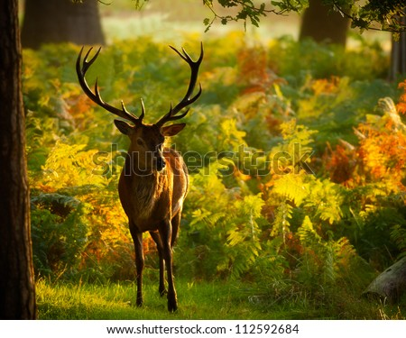 Red Deer Stag in autumn woodland