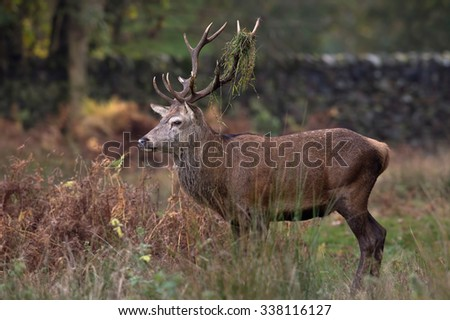 Red Deer Stag in long grass at the edge of forest/Red Deer Stag/Red Deer Stag (cervus elaphus)