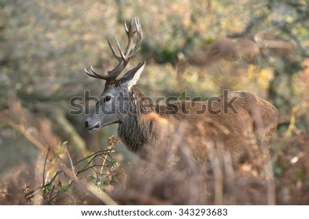 Red Deer Stag in long grass in light dappled forest/Red Deer Stag/Red Deer Stag (Cervus Elaphus)