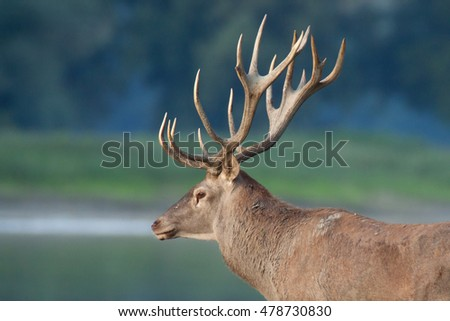 Red deer stag in mating season