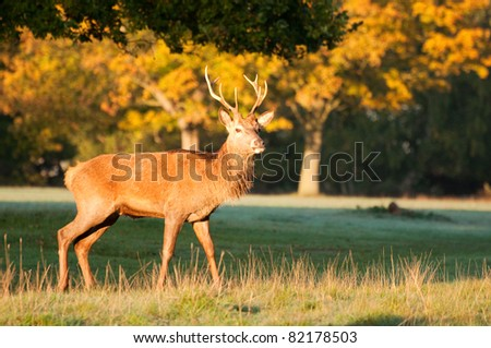 Red Deer stag in morning sun