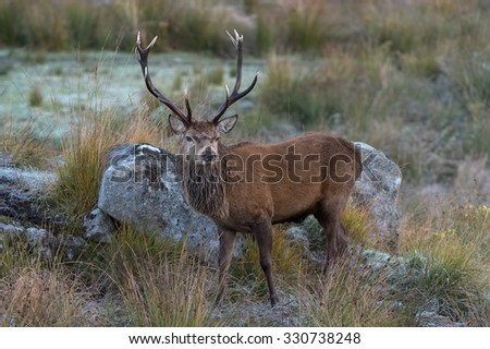 Red Deer Stag in rocky highland terrain/Red Deer Stag/Red Deer (cervus elaphus)