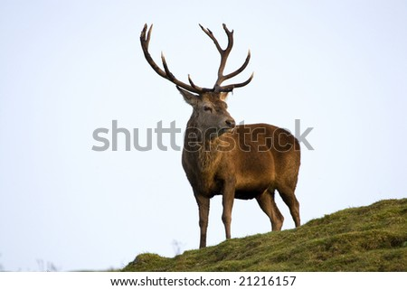Red deer stag posing on a hill. - stock photo