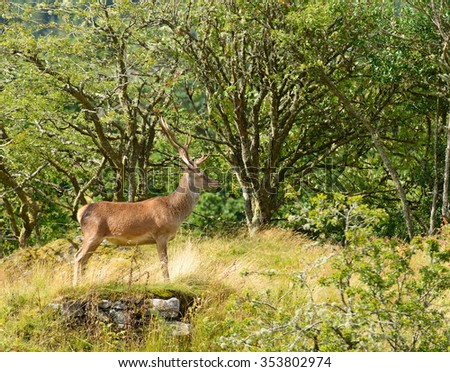 Red Deer stag resting