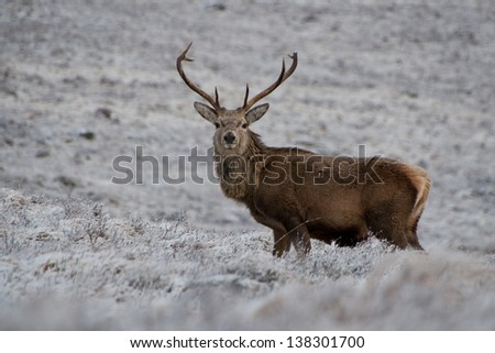 Red deer stag, Scotland 2013 - stock photo
