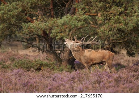 Red deer stag troating