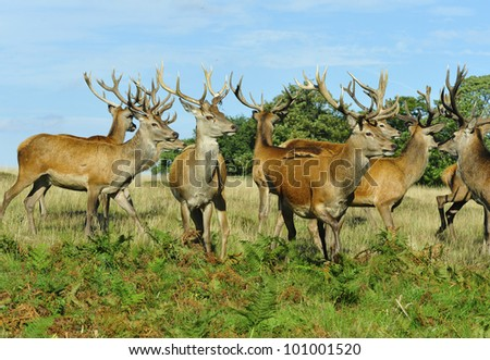 Red deer stags - stock photo