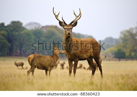 Red deer stags and does herd in Autumn Fall meadow scene - stock photo