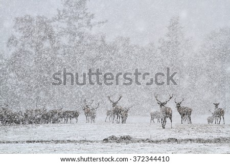 Red Deer Stags (Cervus elaphus) in the Scottish Winter Snow.  - stock photo
