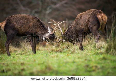 Red deer stags fighting during mating season