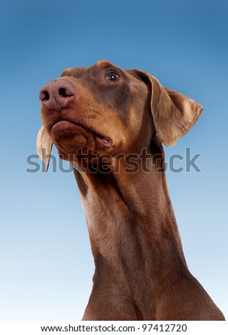 Red Doberman Pinscher with natural ears - stock photo