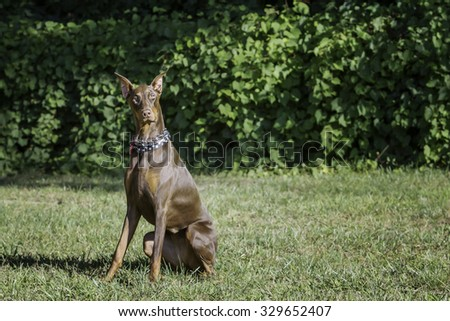 Red doberman sitting in the grass