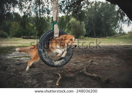 red dog Border Collie jumping through a tire in summer - stock photo