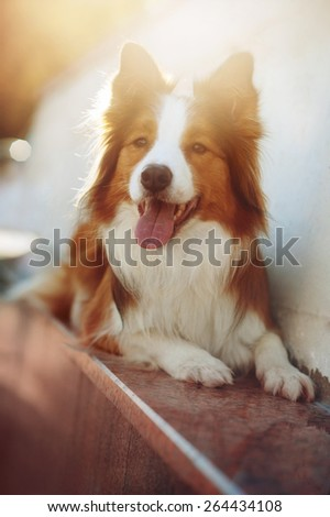 Red dog border collie lying in sunlight