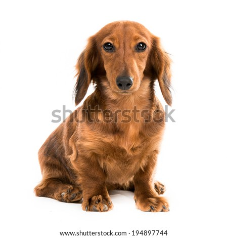 red dog breed dachshund on white background looking into the camera