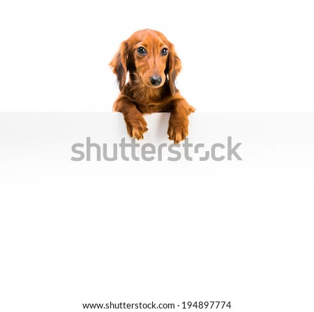 red dog breed dachshund with a whiteboard for your text - stock photo