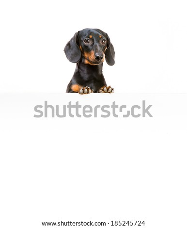 red dog breed dachshund with a whiteboard for your text and logo - stock photo