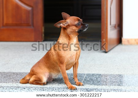 Red dog chihuahua waiting for his owner