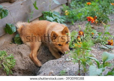 red dog hiding in the garden. Digging a hole
