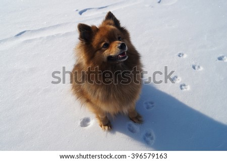 red dog in the snow