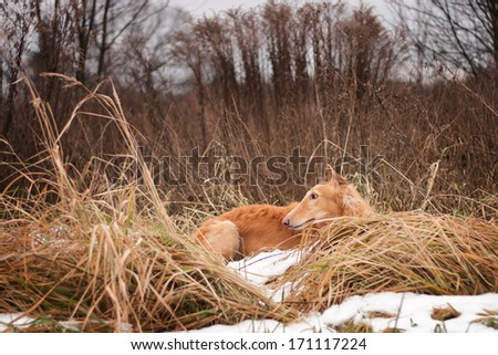 Red dog lying in the grass and snow - stock photo