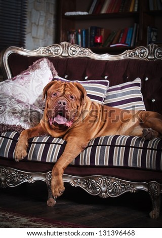 red dog on a chair - stock photo