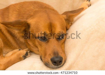Red dog resting on the couch