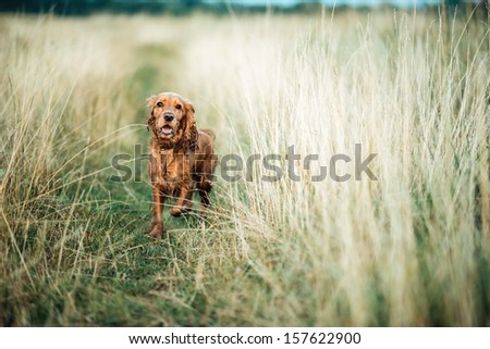 red dog running in the grass - stock photo