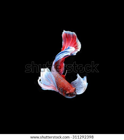 Red doubletail siamese fighting fish, betta fish isolated on black background. - stock photo