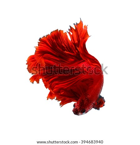Red dragon siamese fighting fish, betta fish isolated on white background.   - stock photo