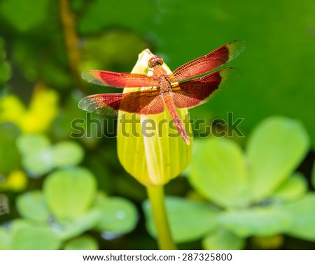 Red dragonfly on the lotus flower at the thailand jungle - stock photo