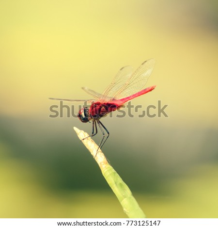 Red dragonfly  rest on branch