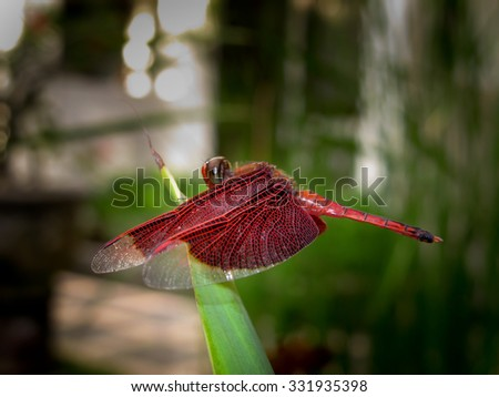 Red dragonfly resting on lotus flower - stock image - Stock Image
