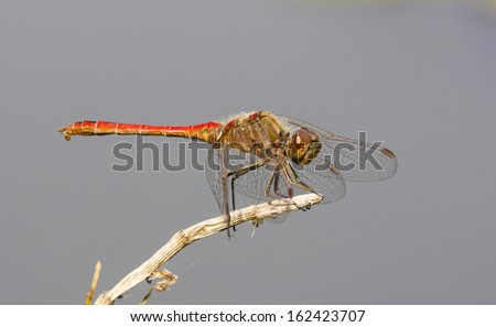 Red dragonfly sitting on a twig, isolated against grey background