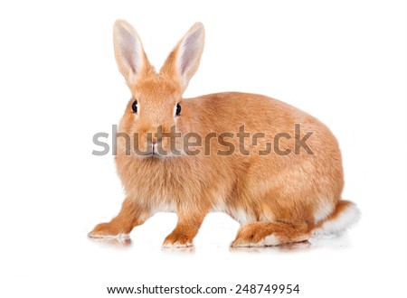 Red dwarf rabbit isolated on white - stock photo