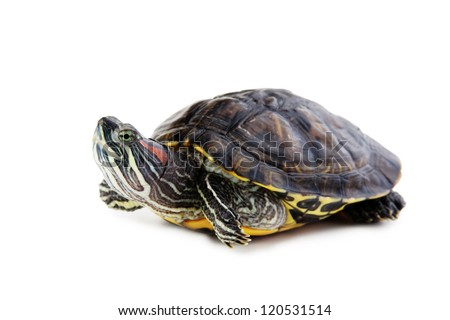 red ear turtle  isolated on white background - stock photo