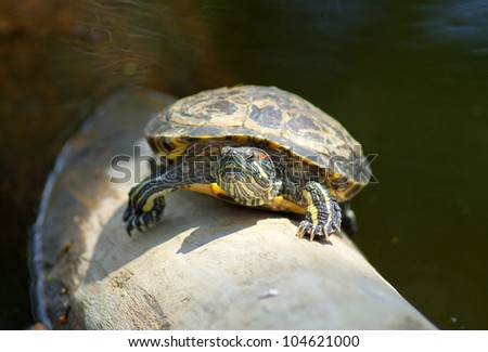 Red-ear Turtle - Trachemys scripta elegans - stock photo