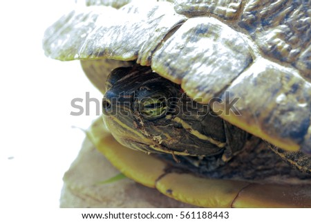 Red-eared pond slider (Trachemys scripta elegans) hiding in its shell