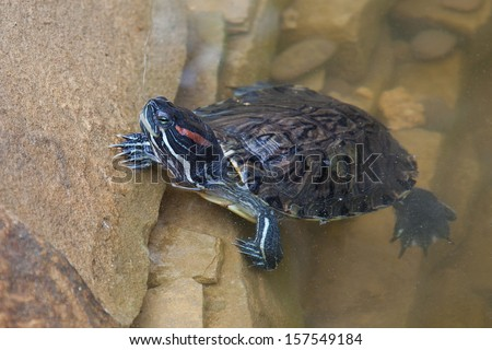 Red eared pond slider (Trachemys scripta) turtle crawling out of the water. - stock photo